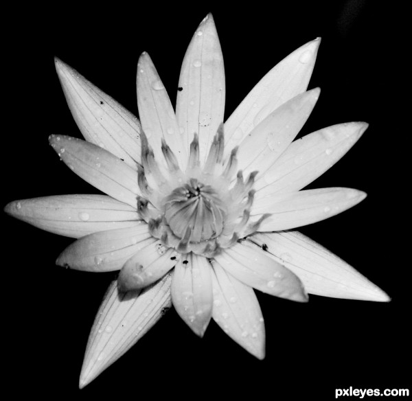 Black and White Flower   created by meganep1