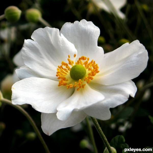 japanese anemone picture by jeaniblog for flower closeup 2 photography contest. Black Bedroom Furniture Sets. Home Design Ideas
