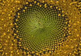 Sunflower swirl
