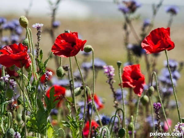 Poppies by the roadside