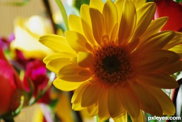 dazzle daisy