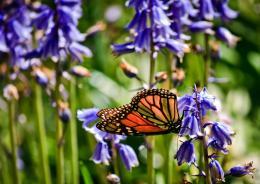 Butterflyonbluebells