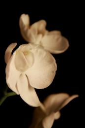 Orchidof