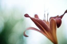 dodoflower