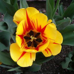 tulipanoItaliano