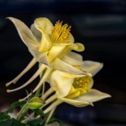 YellowGrannysBonnet