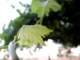 Vine Leaves Picture