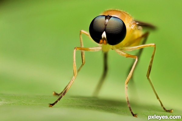 Stilt Winged Fly