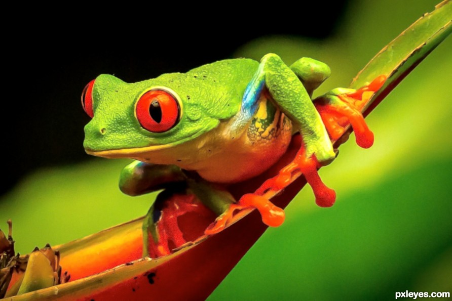 Green, red eyed frog smiling