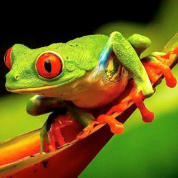 Greenredeyedfrogsmiling