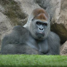 Oh no, there goes Tokyo go go Gorilla