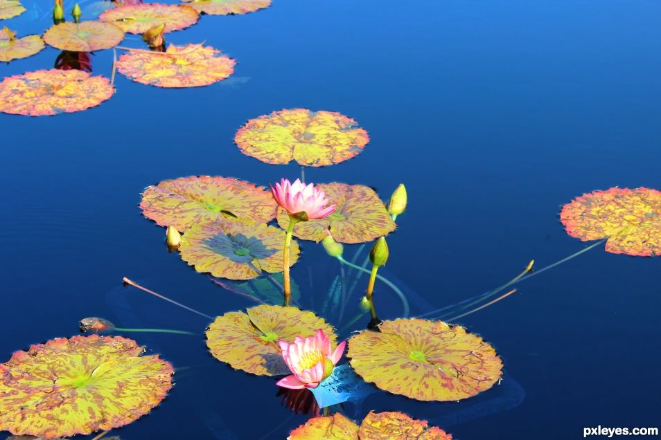 Waterlilies - Reflecting Pool
