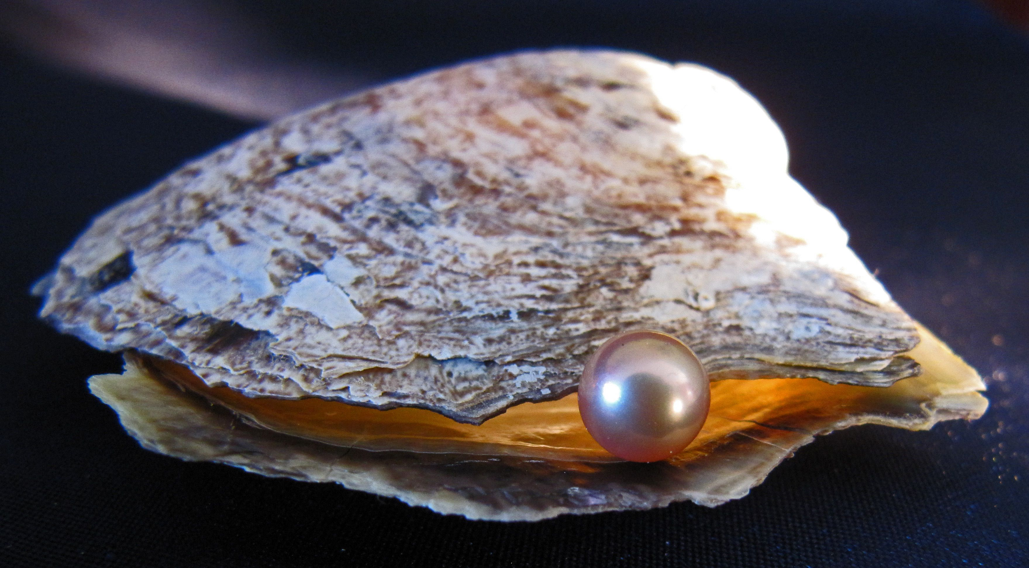 Pearl and Oyster Shell Open Oyster Shell With Pearl