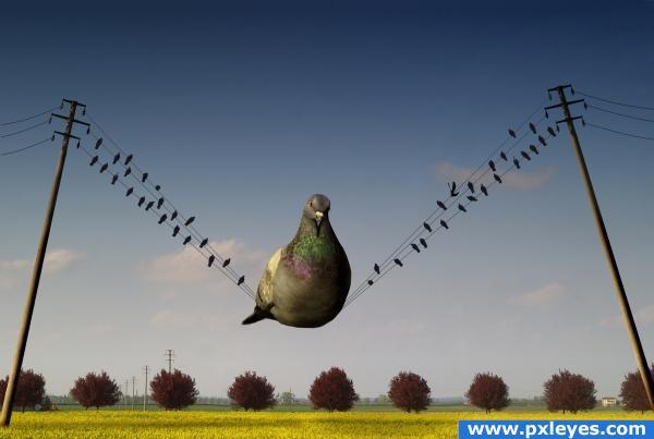 Big pigeon