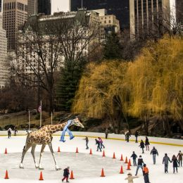 GiraffeskatinginCentralPark