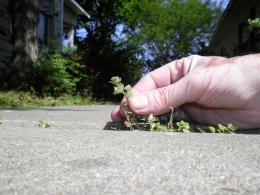 sidewalkweeds