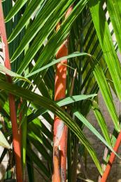 redbamboo