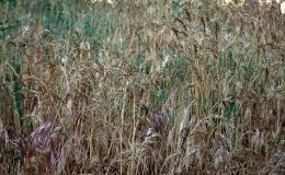 drygrass