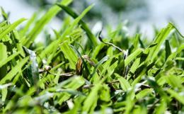 coarsegrass