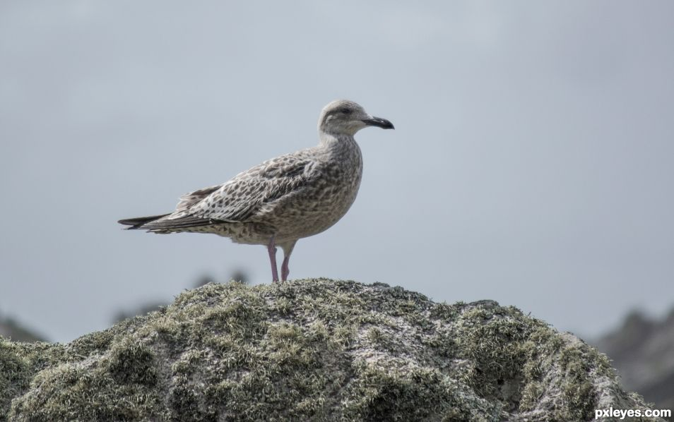 Young seagull on the rocks