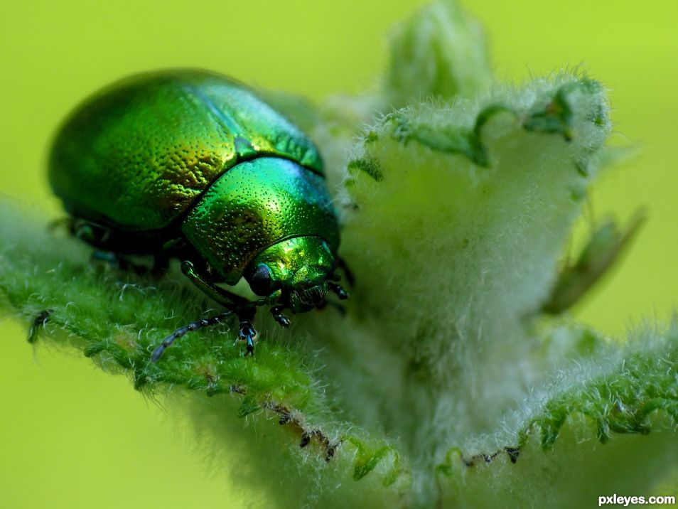 Green Mint Beetle