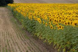 SunflowersinFrance