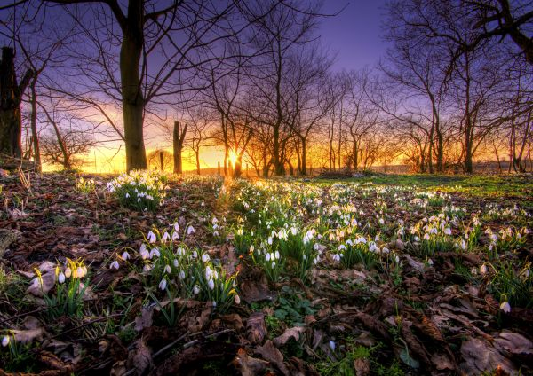 Snowdrops at Sunset.
