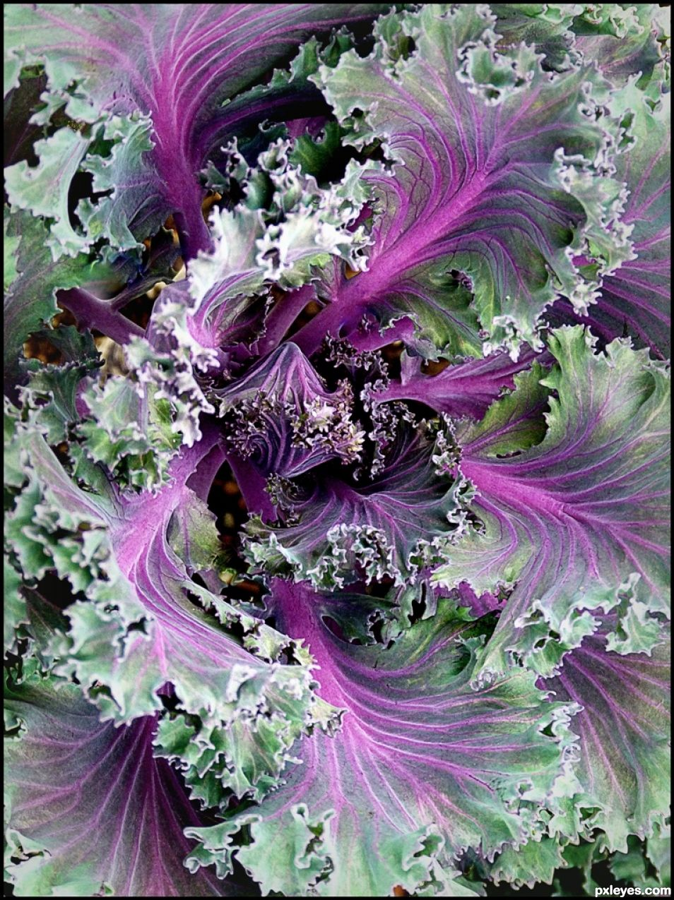 Red Chidori Kale Picture By Mymindseye For Health Food