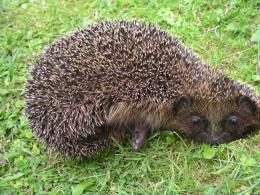 Hedgehog moved. Picture