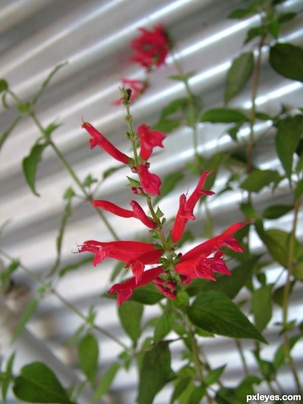 Pinapple Sage