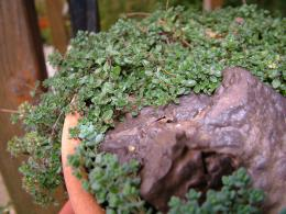 GroundcoverThyme
