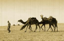 Giraffe on the Camels