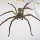 huge spider photoshop contest