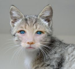 Little cat with blue eyes
