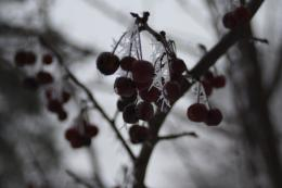 FrozenBerries