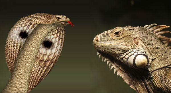 Cobra Vs Iguana...