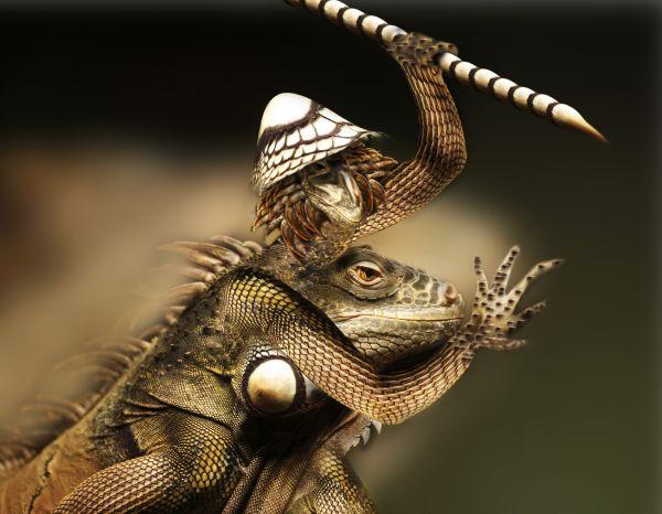 Iguana fighter