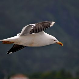 Seagull in Flight Picture