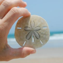 Sand dollar Picture