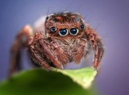 Human Eye Spider