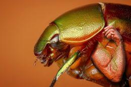 Muscle Bug