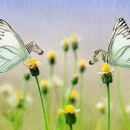 Zebraflies