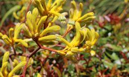 Entry number 107221 Kangaroo Paw flowers