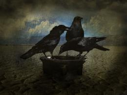 thirsty crows