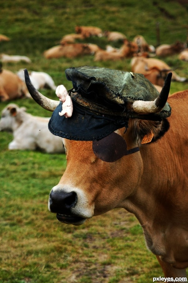pirate cow