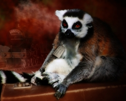 Please look after this lemur