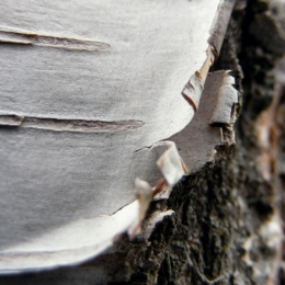 Birch Bark Picture