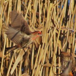 Flyingfinch