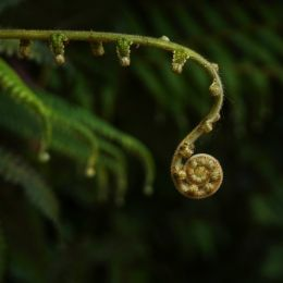 FiddleheadFern