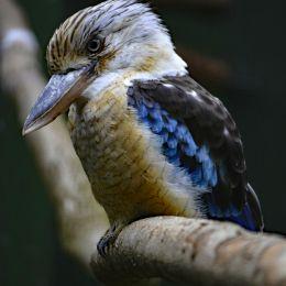 Kookaburra Picture